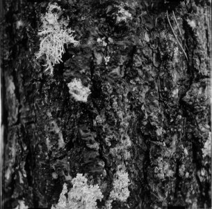 Tronco con líquenes (Trunk with Lichens)