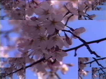 Rock Video: Cherry Blossom